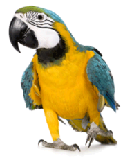 parrot-cropped